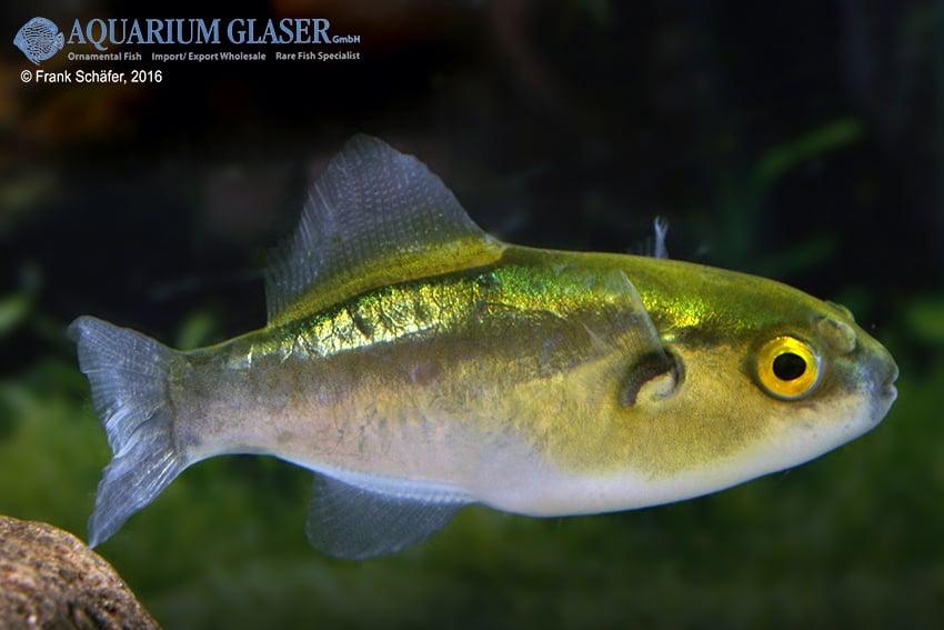 Auriglobus cf. nefastus - Grüner Neon-Süßwasserkugelfisch 3