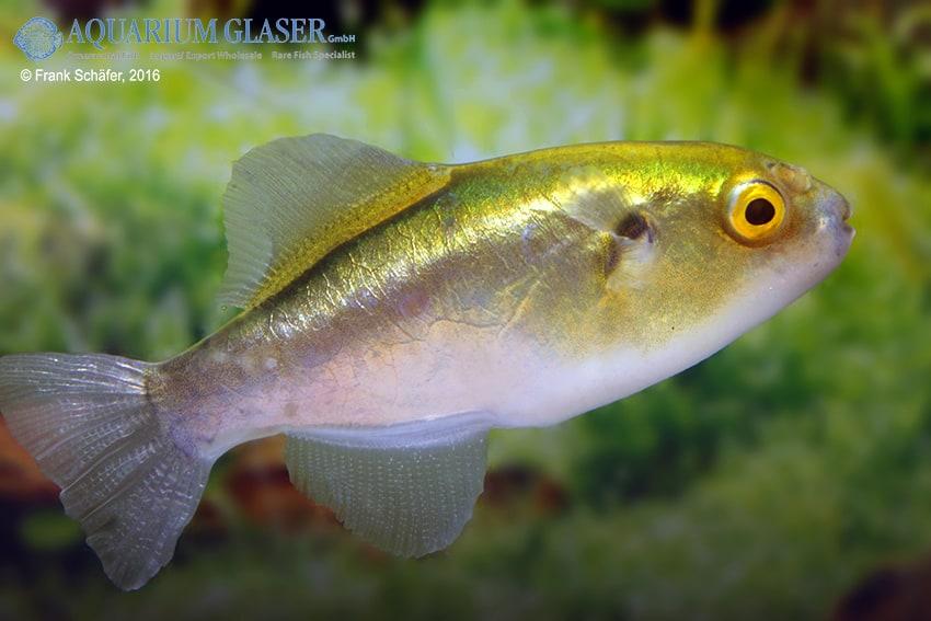 Auriglobus cf. nefastus - Grüner Neon-Süßwasserkugelfisch 2