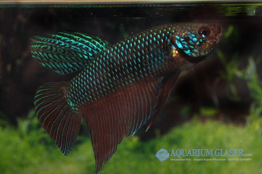 Betta smaragdina - Smaragd-Kampffisch 2