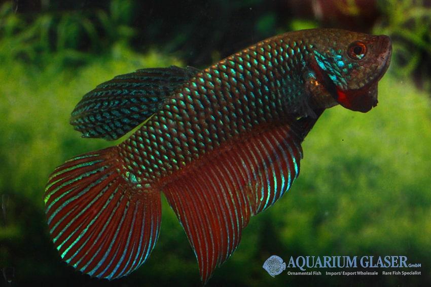 Betta smaragdina - Smaragd-Kampffisch 3