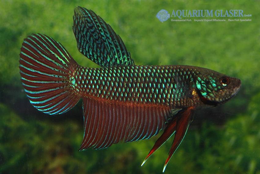 Betta smaragdina - Smaragd-Kampffisch 4