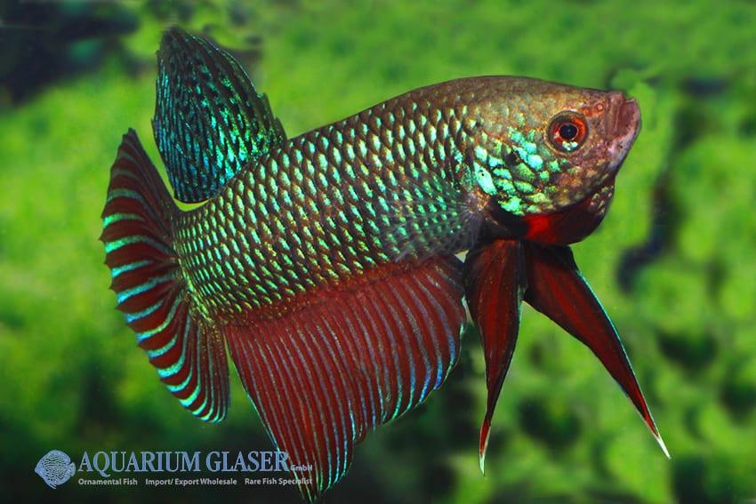 Betta smaragdina - Smaragd-Kampffisch 5