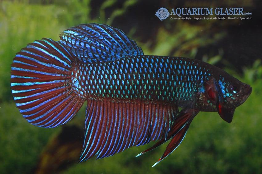 Betta smaragdina - Smaragd-Kampffisch 6