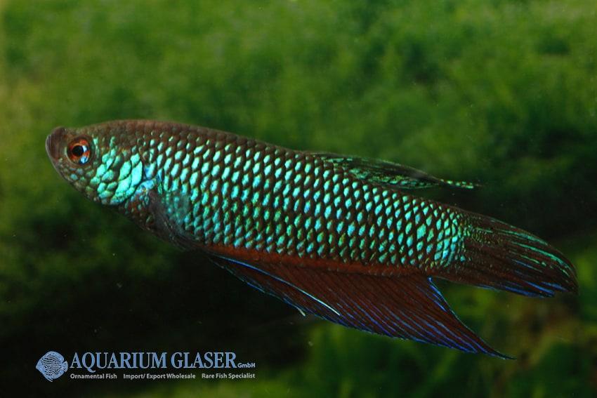 Betta smaragdina - Smaragd-Kampffisch 7