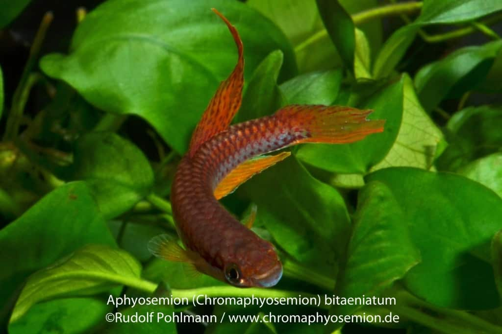 Aphyosemion bitaeniatum - Zweistreifen-Prachtkärpfling 6