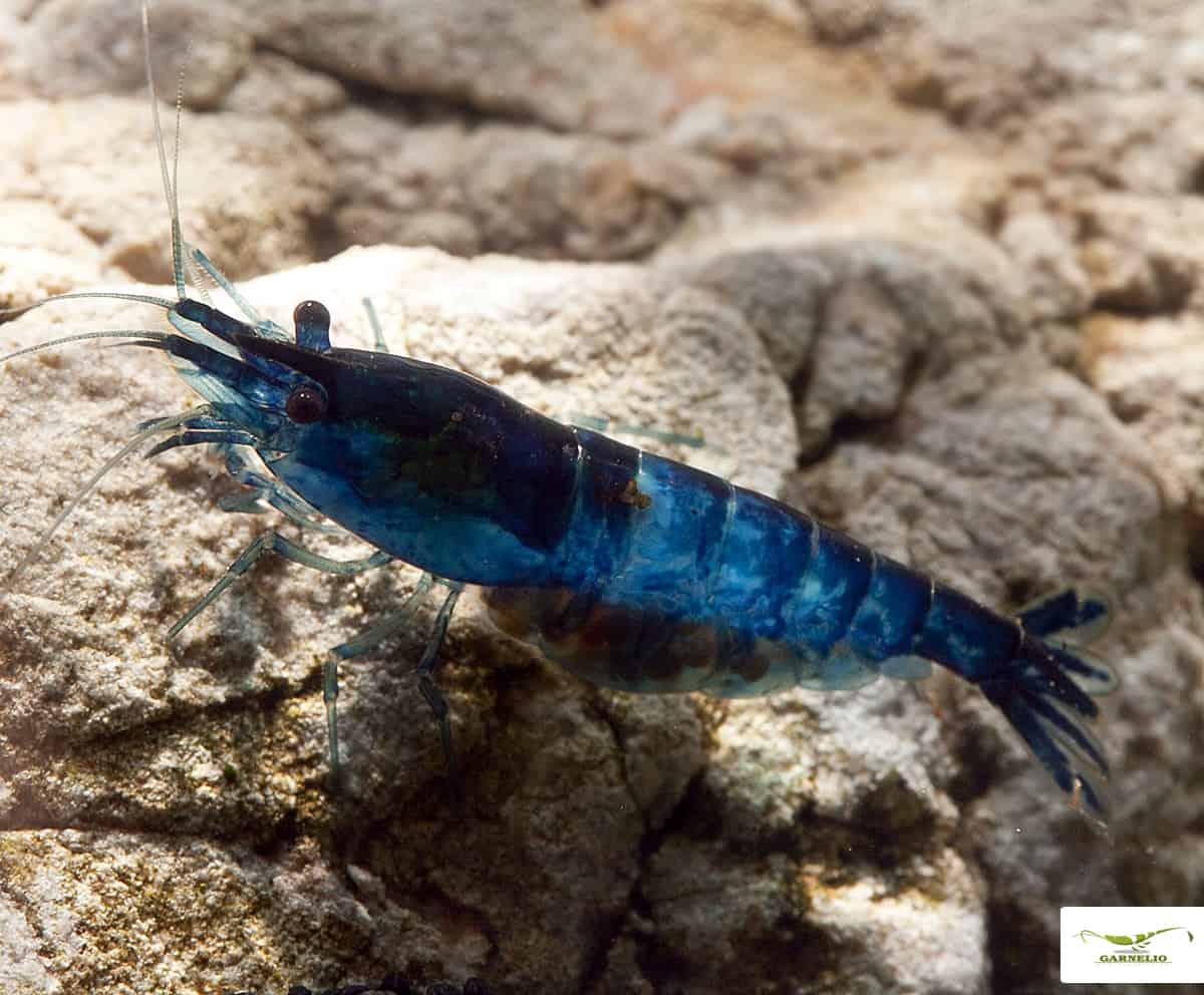 Neocaridina davidi (heteropoda) - Blue-Rili-Garnele 4