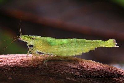 Caridina babaulti - Grüne Zwerggarnele 1