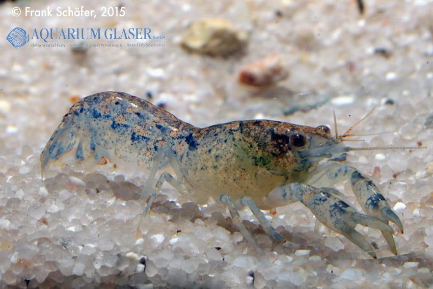 Cambarellus diminutus - Braunblauer Zwergflusskrebs 6