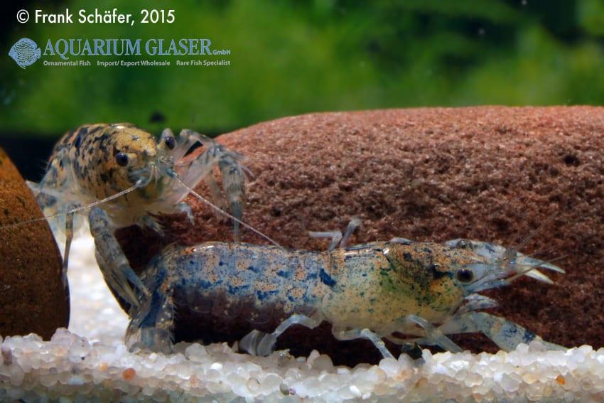 Cambarellus diminutus - Braunblauer Zwergflusskrebs 7
