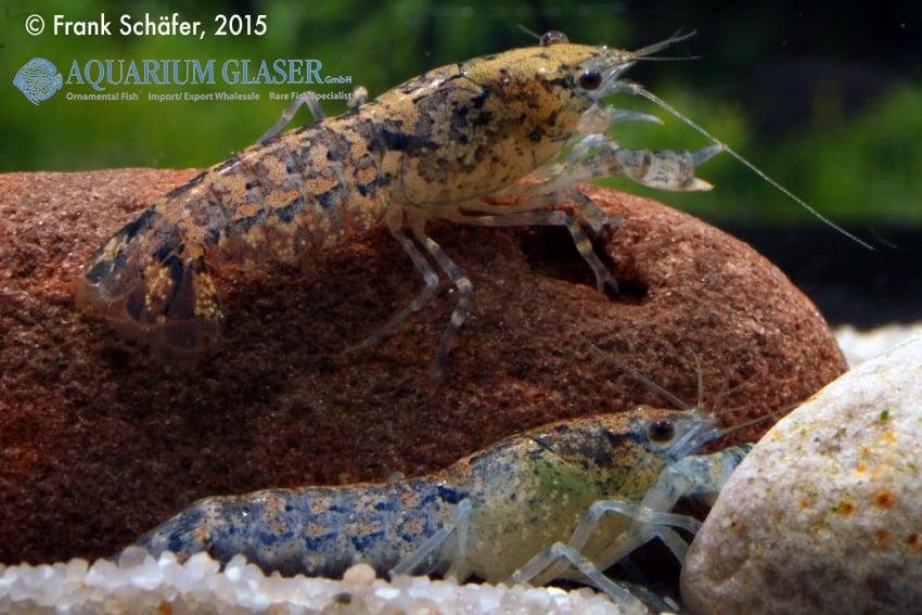 Cambarellus diminutus - Braunblauer Zwergflusskrebs 8