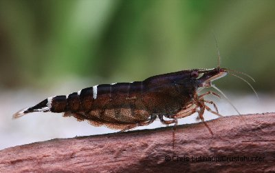 Caridina cf babaulti - Malayagarnele 1