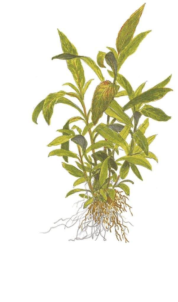 Hygrophila corymbosa 'Siamensis 53B' 1