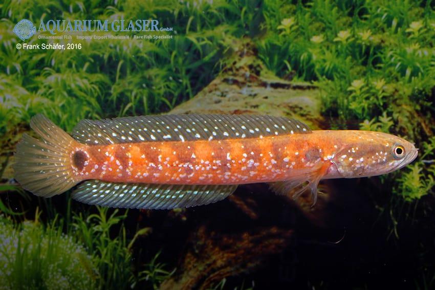 Channa asiatica - Schlangenkopffisch 2