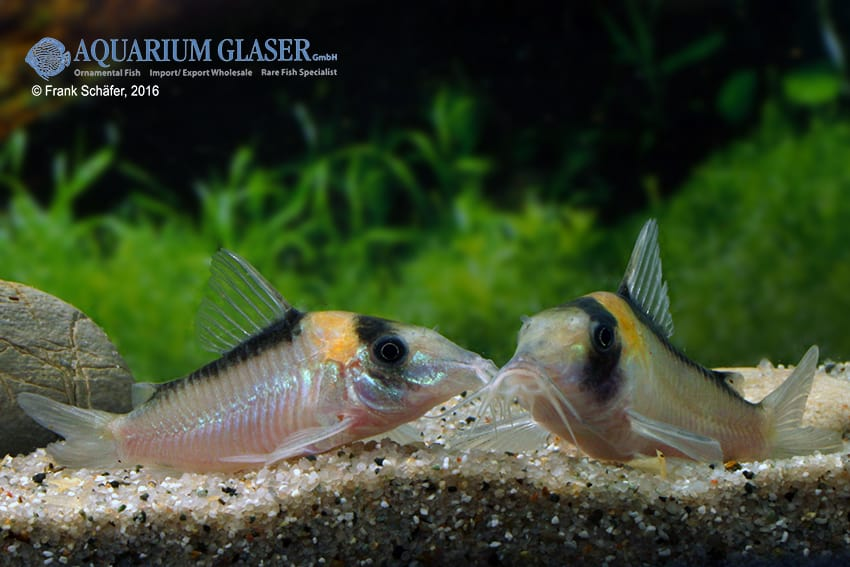Corydoras cf. imitator (C 39) - Imitator-Panzerwels 5
