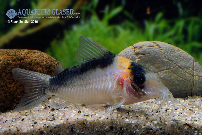 Corydoras cf. imitator (C 39) - Imitator-Panzerwels 6