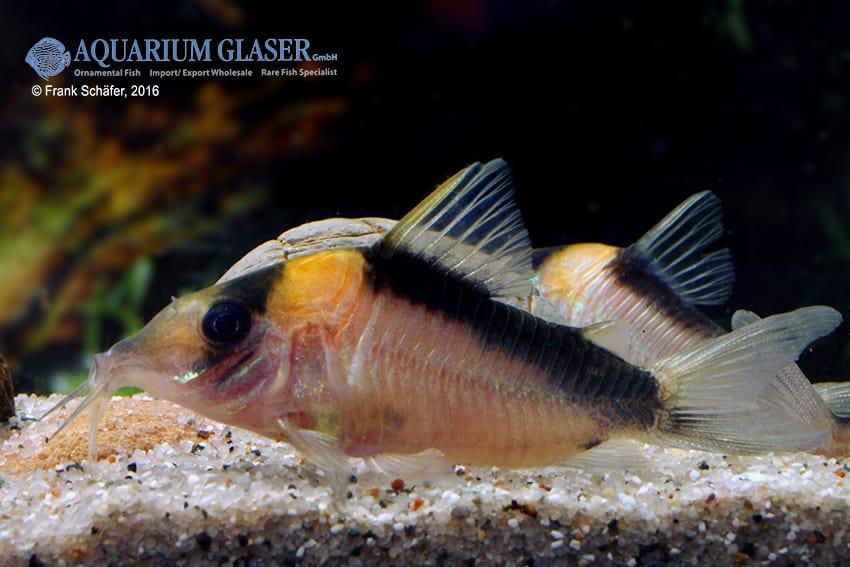 Corydoras cf. imitator (C 39) - Imitator-Panzerwels 7