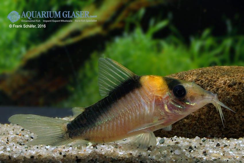 Corydoras cf. imitator (C 39) - Imitator-Panzerwels 8