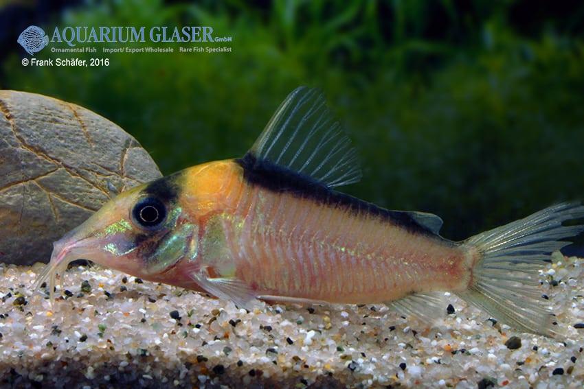 Corydoras cf. imitator (C 39) - Imitator-Panzerwels 9