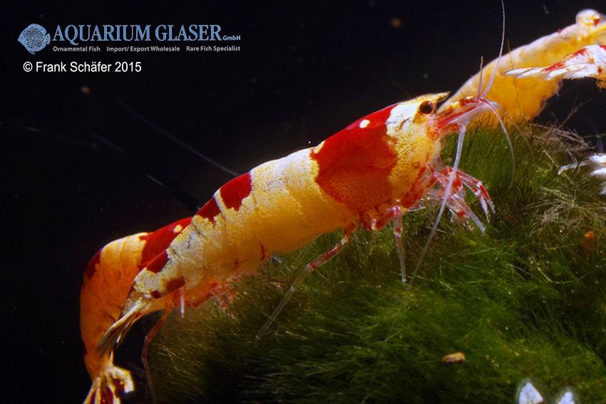 Caridina logemanni - Kristallrote Bienengarnele 3