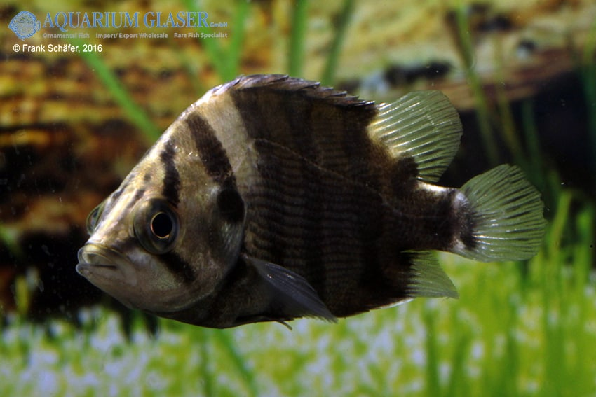 Datnioides polota/quadrifasciatus - Tigerbarsch 5