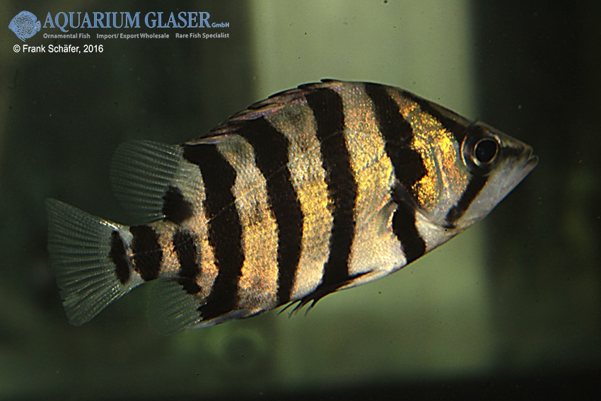 Datnioides polota/quadrifasciatus - Tigerbarsch 3