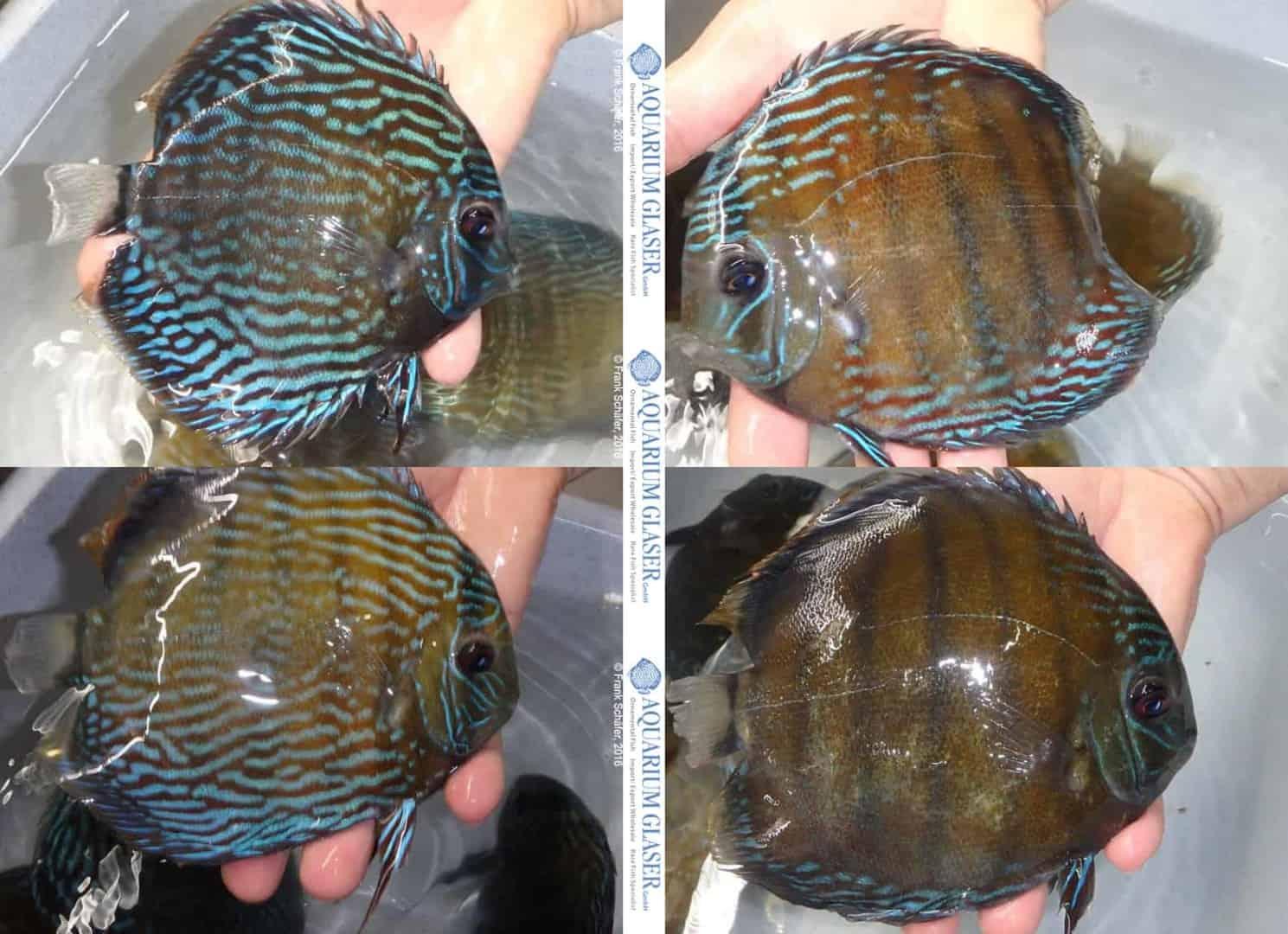 Symphysodon aequifasciatus - Diskus 22