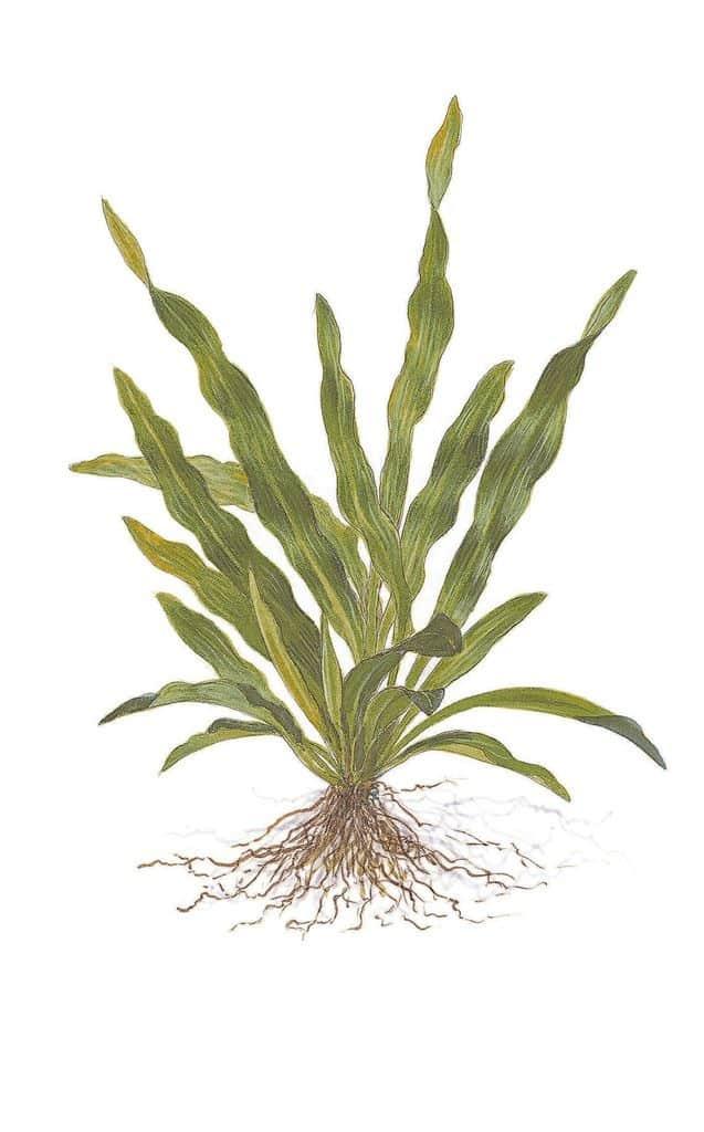 Echinodorus uruguayensis 2