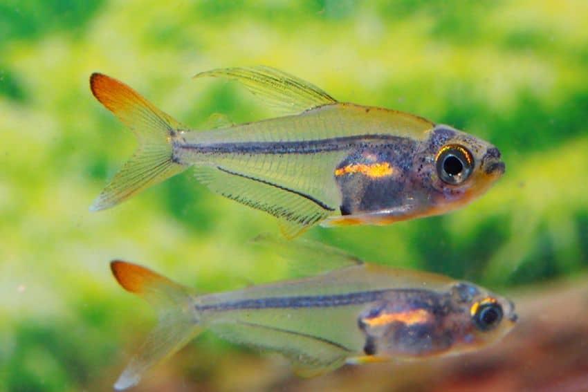 Trochilocharax ornatus - Kolibrisalmler 2