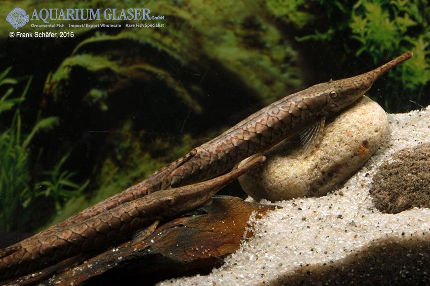Farlowella platorynchus - Langnasen-Nadelwels 6