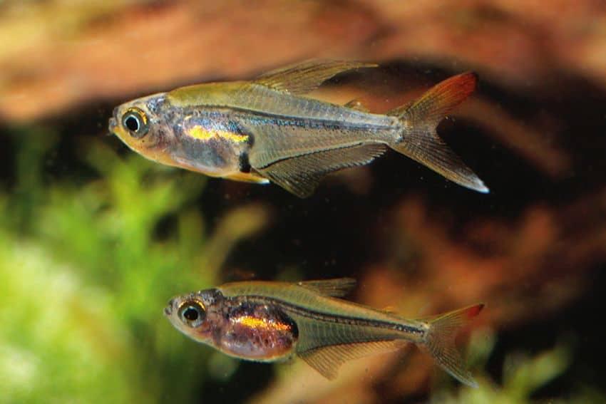 Trochilocharax ornatus - Kolibrisalmler 4