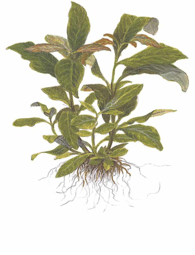 Hygrophila corymbosa 2