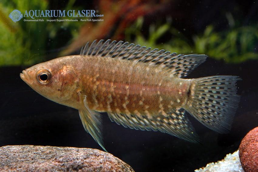 Microctenopoma fasciolatum - Gebänderter Buschfisch 3