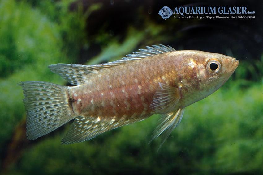 Microctenopoma fasciolatum - Gebänderter Buschfisch 4