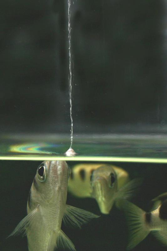"""Sobald die Schützenfische ein fliegenförmiges Objekt auf der Glasplatte über dem Wasserbecken identifiziert haben, schießen sie einen Wasserstrahl auf diese """"Beute"""" ab."""
