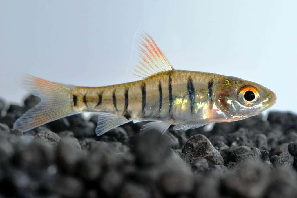 Barbus fasciolatus - Angolabarbe 3