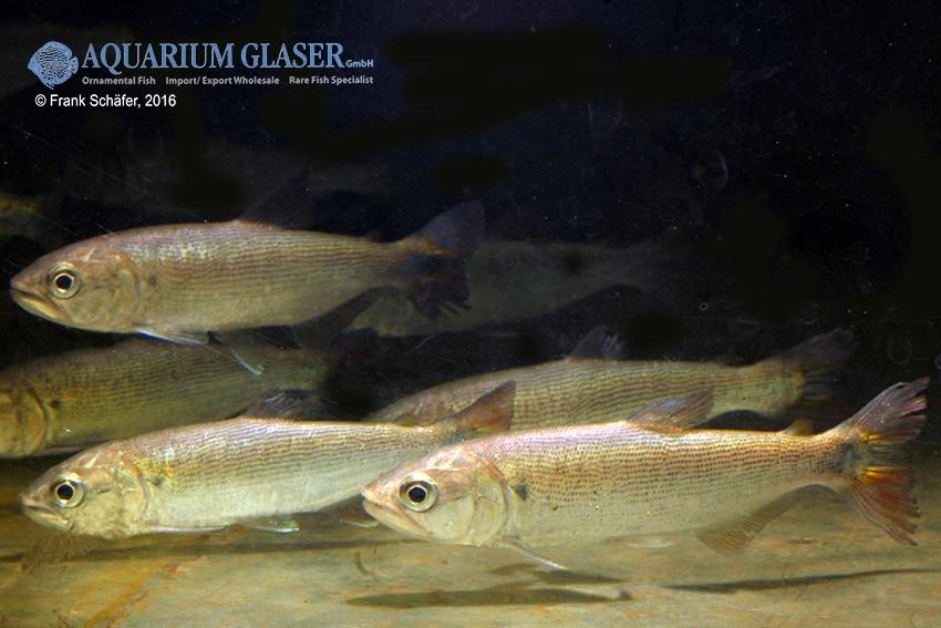 Salminus brasiliensis - Forellensalmler 1
