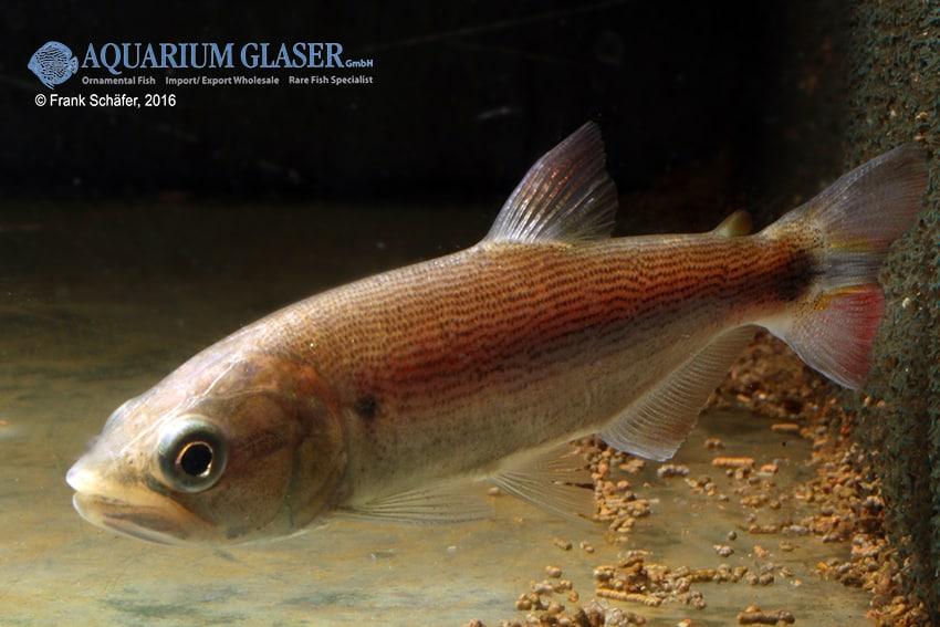 Salminus brasiliensis - Forellensalmler 2