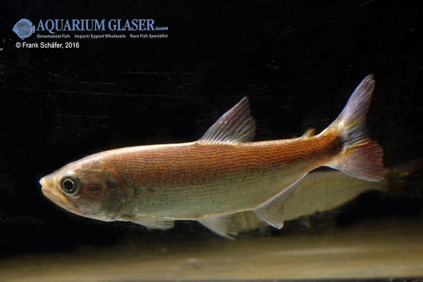 Salminus brasiliensis - Forellensalmler 3