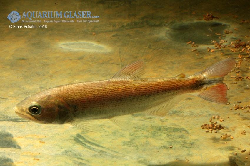 Salminus brasiliensis - Forellensalmler 4