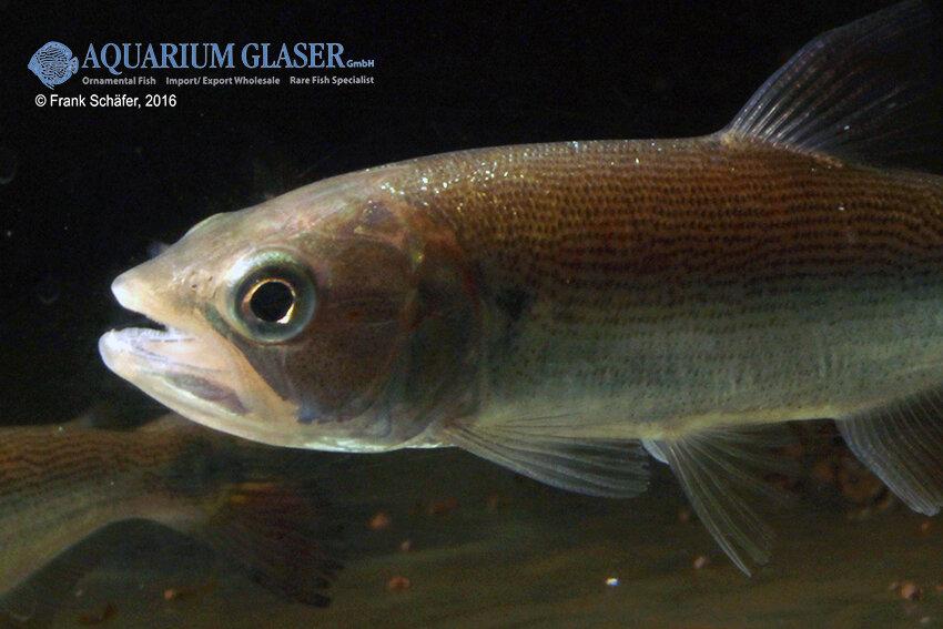 Salminus brasiliensis - Forellensalmler 5