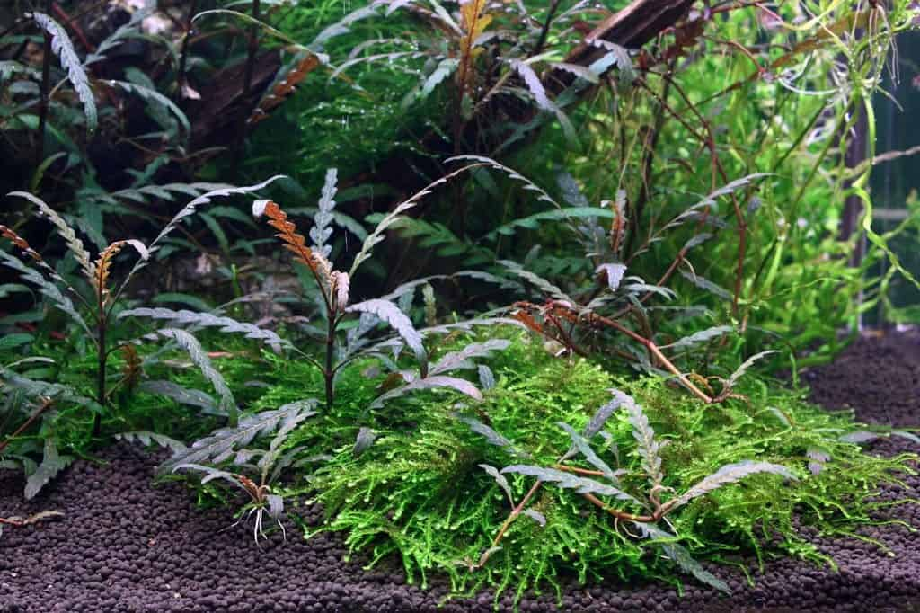 Quelle: Tropica Aquarium Plants