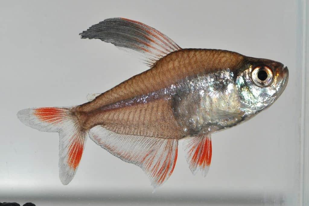 Hyphessobrycon bentosi - Echter Sichelsalmler 1