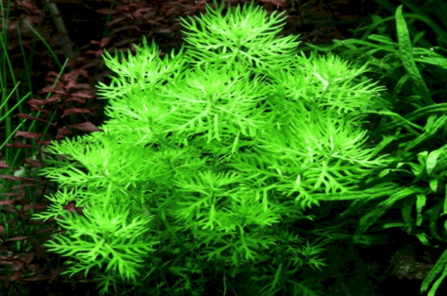Hottonia palustris 1