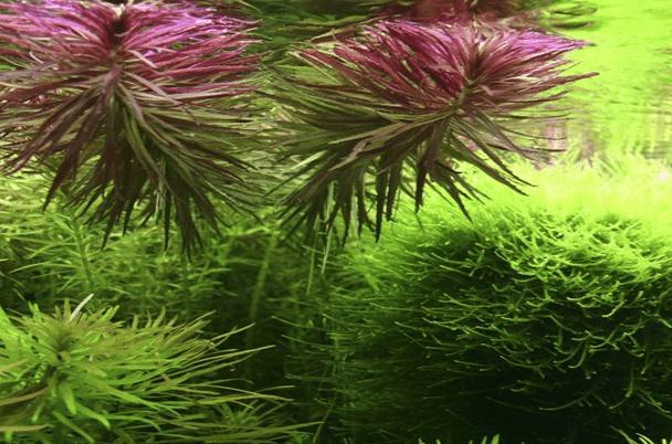 Limnophila aromatica 1