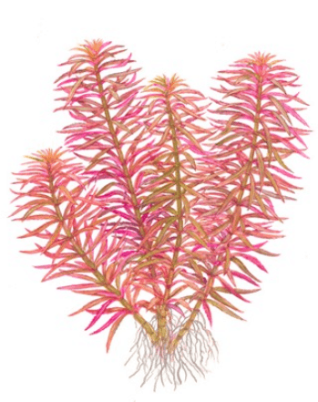 Limnophila hippuridoides