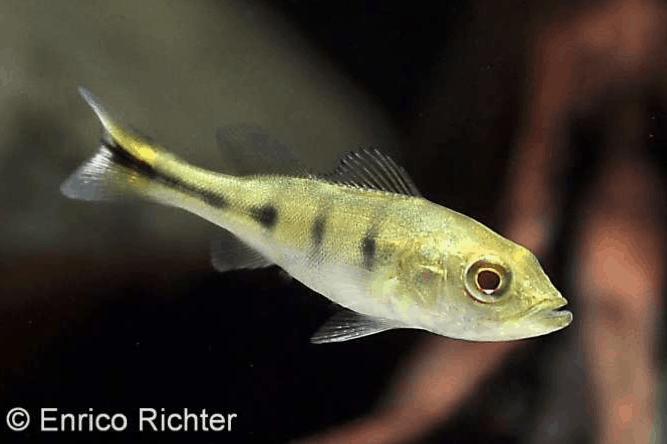 Cichla temensis – Humboldt-Kammbuntbarsch 3