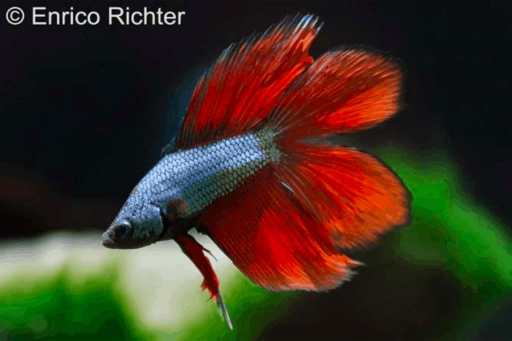 Betta splendens - Siamesischer Kampffisch 3