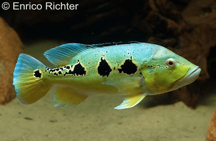 Cichla temensis – Humboldt-Kammbuntbarsch 2