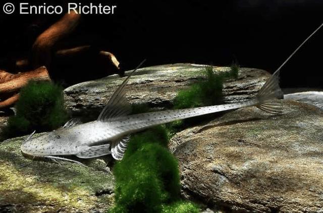 Planiloricaria cryptodon - Rundkopf-Flunderharnischwels 1