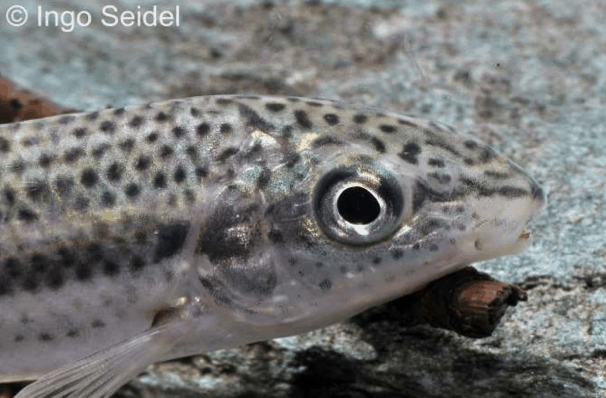 Leporellus vittatus - Leporellosalmler 1